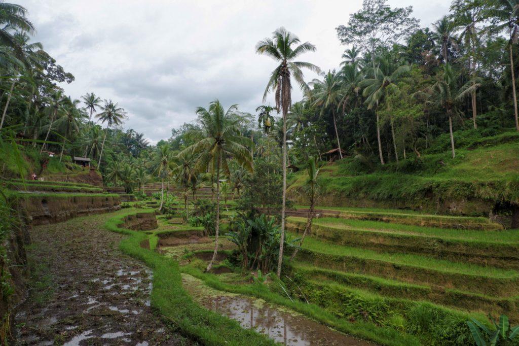 Rýžové terasy Tellelang Bali